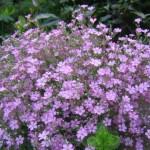 Фото 29: Гипсофила розовая