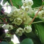Женское растение актинидии