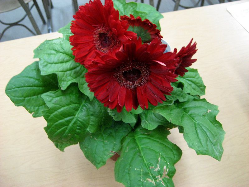 Домашний цветок гербера