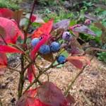 Фото 17: Коллекционные посадки голубики