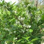 Фото 9: Куст садовой голубики