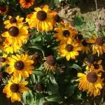 Фото 12: Осенняя рудбекия многолетняя