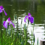 Оформление пруда ирисами