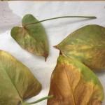 Фото 18: Пораженные листья плюща