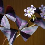 Фото 23: Растение кислица