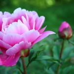 Фото 25: Розовый пион