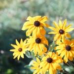 Фото 19: Рудбекия многолетняя на солнце