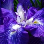 Фото 25: Синий ирис