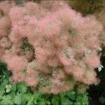 Фото 25: Скумпия обыкновенная розовая