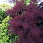 Фото 27: Скумпия темно-бордовая