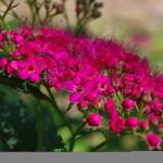 Фото 27: Спирея Японская в саду