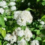 Фото 23: Спирея кустарник с белыми цветами весной