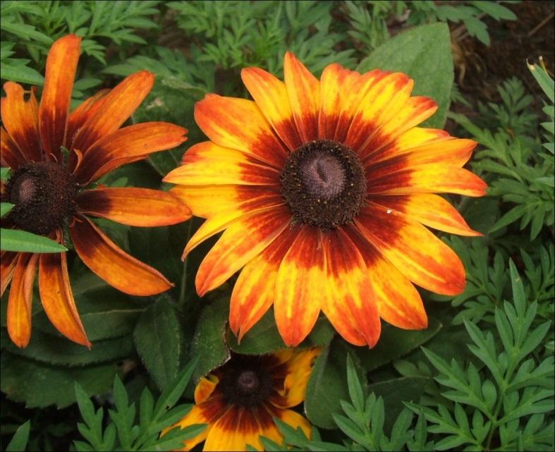 Цветы многолетние рудбекия