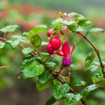 Фото 30: Фуксия в росе