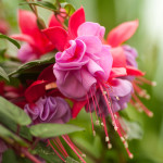 Фото 29: Фуксия в саду