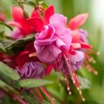 Фото 6: Фуксия в саду