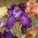 Фото 28: Цветение ирисов