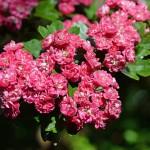 Фото 30: Цветущая спирея