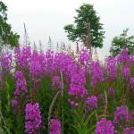 Фото 27: Цветы Иван-чая