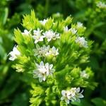 Фото 30: Цветы стевии