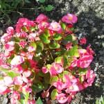 Бегония вечноцветущая из семян