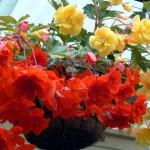 Декоративно-цветущая бегония