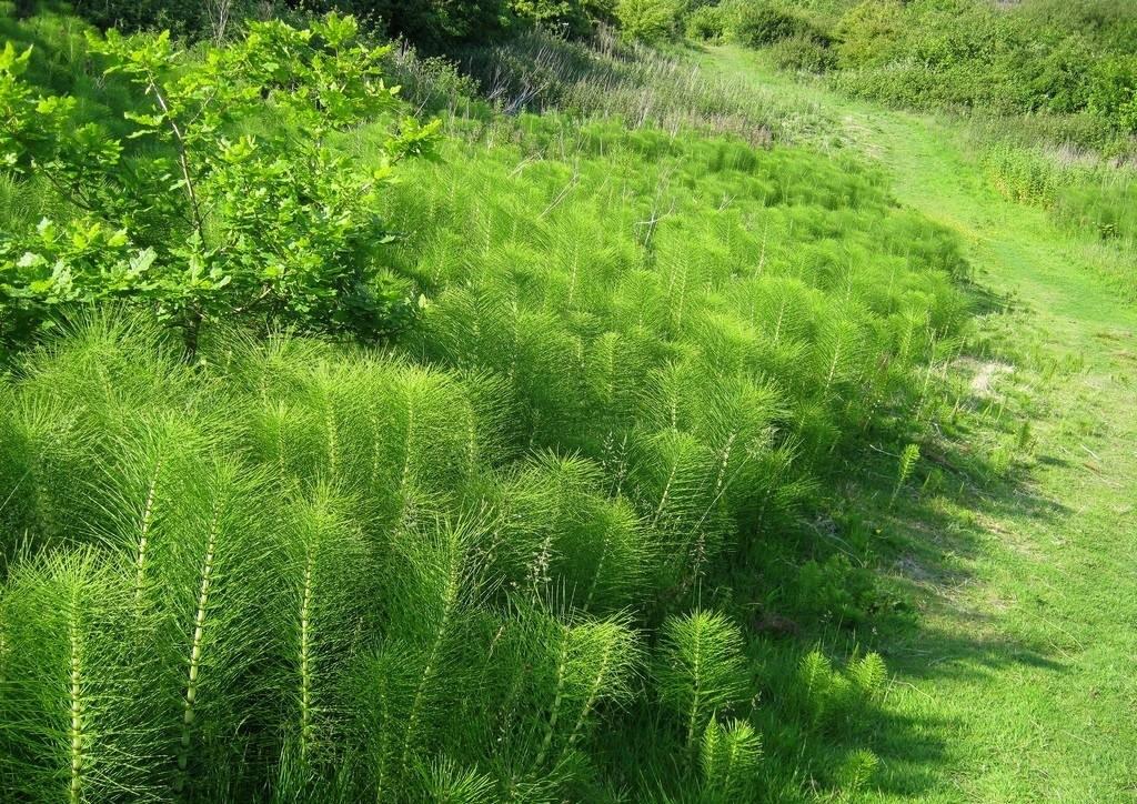 хвощ полевой лечебные свойства
