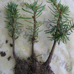 Пихта: посадка, уход, размножение и выращивание в домашних условиях (100 фото видов)