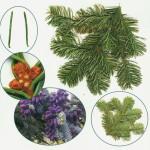 Растение пихта