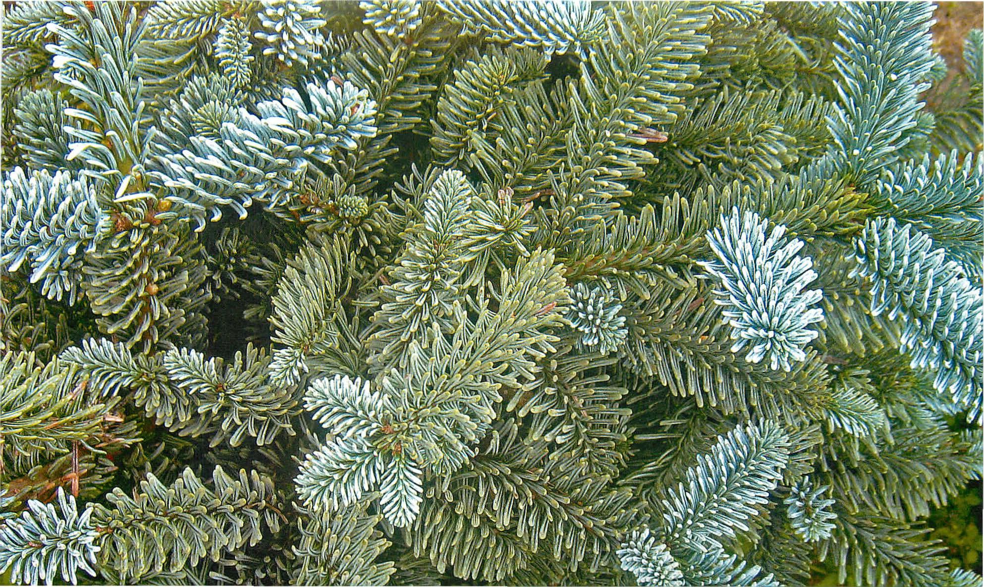 Растение Вырасти дерево Ель канадская голубая zk-048
