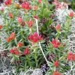 Фото 21: Период цветения родиолы