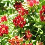 Фото 23: Цветение цветка радиолы