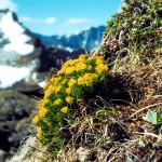 Фото 28: Соцветие цветков родиолы