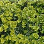 Фото 5: Зеленая пихта