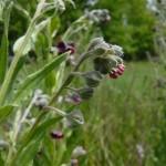 Фото 5: Появление цветков черкнокорня