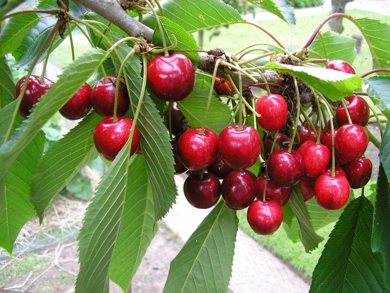 Созревание ягод вишни