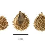 Фото 11: Размер семян чернокорня