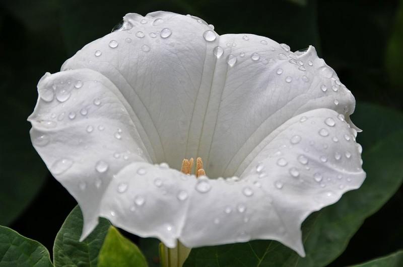 Раскрывшийся цветок дурмана