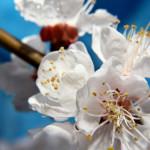 Белый цветки абрикосового дерева
