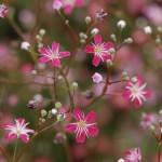 Ярко-розовая гипсофила