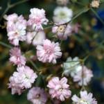 Розовая гипсофила