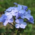 Голубые флоксы