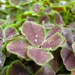 Пурпурный клевер