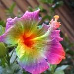 Фото 27: Rainbow Hibiscus