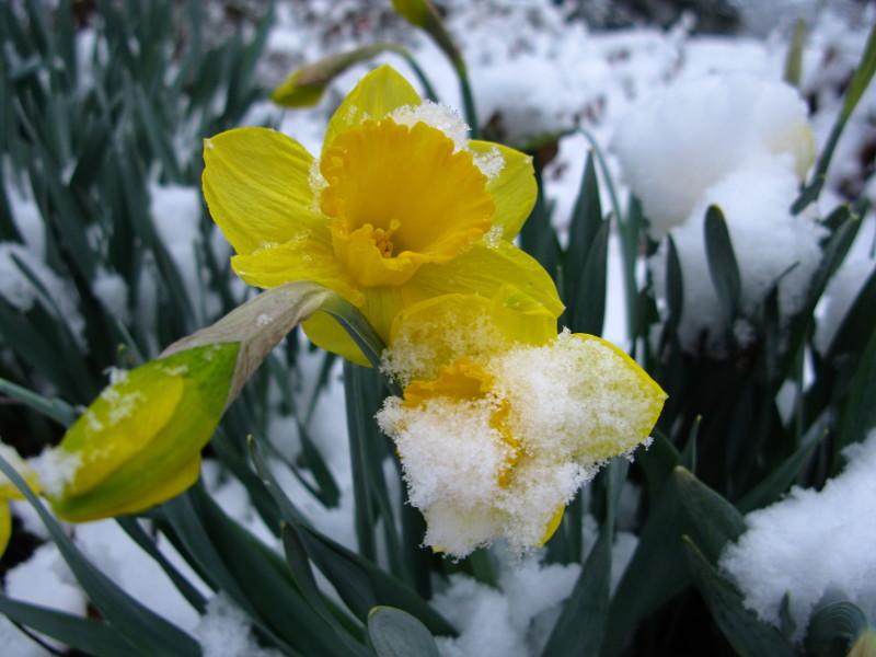 Появление нарциссов зимой и ранней весной