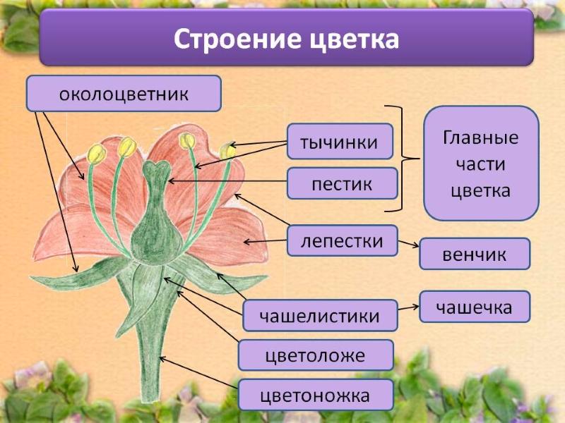Строение цветка гибискуса