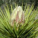 Фото 15: Юкка Brevifolia