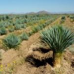 Фото 25: Плантация по выращиванию юкки