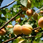 Плоды абрикосов на дереве