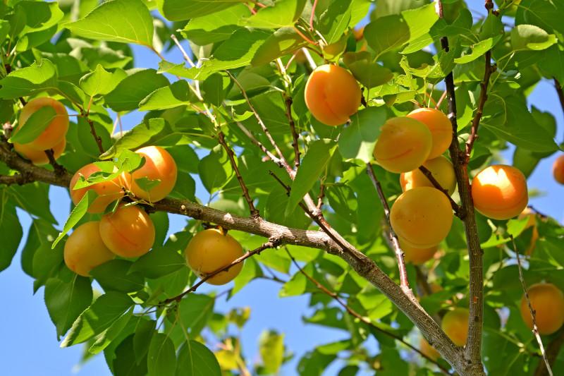 Дерево абрикоса с созревшими плодами